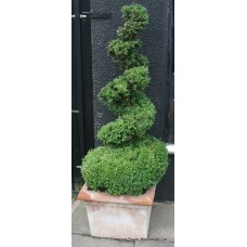 Pair of Planted Mature Spiral Box Plants in Heavy Terracotta Pots