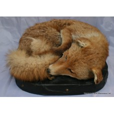 Victorian Taxidermy Fox on Leather Cushion